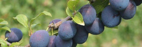 large-Prunus d. 'Damson'